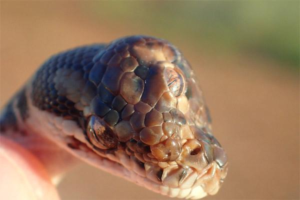 Üç gözlü yılan!